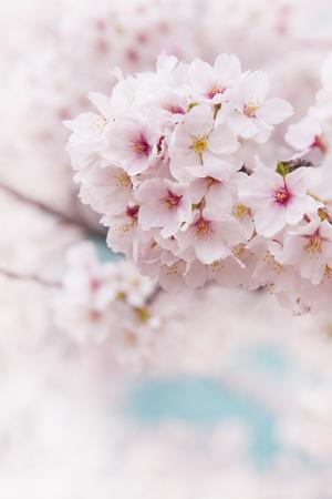 soft focus: Cereza enfoque suave