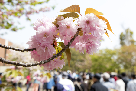 passage: The passage of Mint Sakura