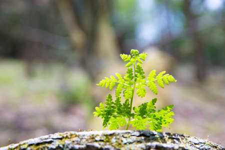 young leaves: Young leaves of fern