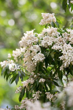 andromeda: Nara Park of andromeda flowers