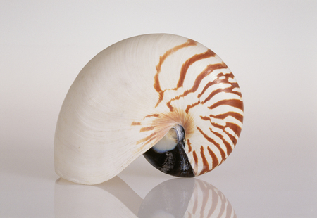 nautilus: Nautilus Stock Photo