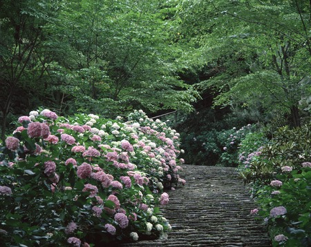 hase: Hydrangea Hasedera