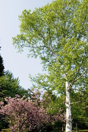 白樺と桜 写真素材 - 47250157