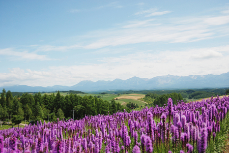 landscape flowers: Earth and lavender