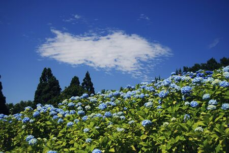 garden scenery: Hydrangea and cloud Stock Photo