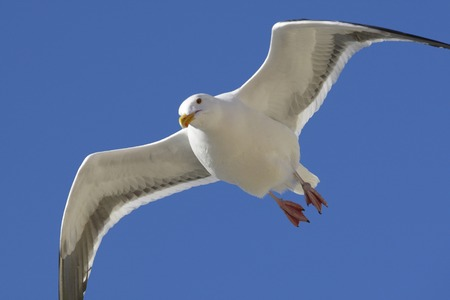 flapping: Seagulls in Marina del Rey