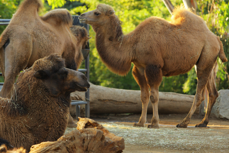 mammalian: Camel Stock Photo