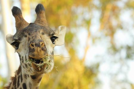 zoologico: Jirafa Foto de archivo