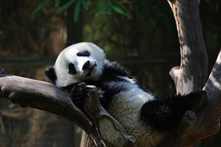 zoologico: Panda  Foto de archivo