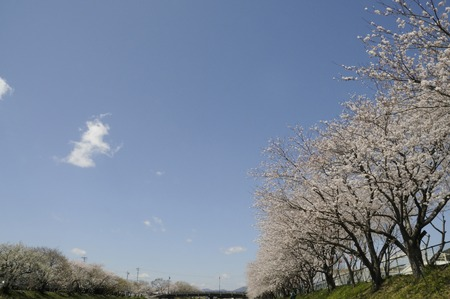 full bloom: Cherry tree in full bloom