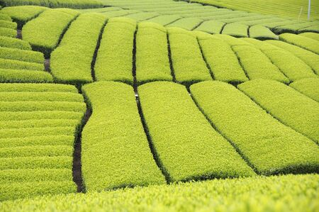 green fields: Tea plantation Stock Photo