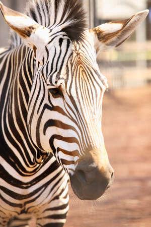 zebra face: Zebra face Stock Photo