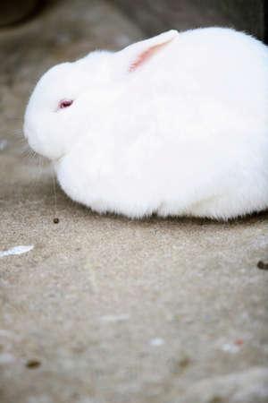 lagomorpha: Rabbit