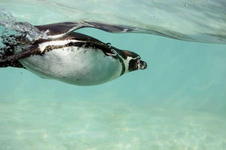 flightless bird: Humboldt penguins swim underwater Stock Photo