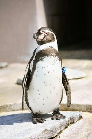 flightless bird: Humboldt Penguin Stock Photo
