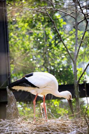 ciconiiformes: Stork