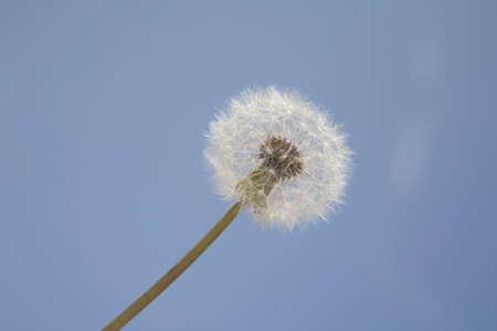 pleasent: Dandelion