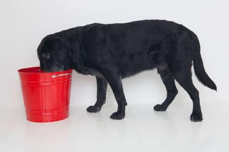 mammalian: Labrador Retriever