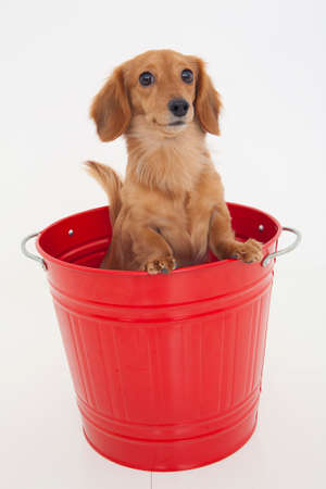 bowwow: Miniature Dachshund who is in the bucket