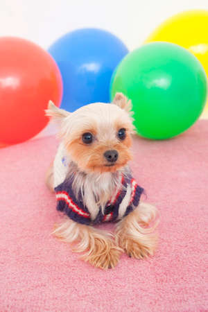 bowwow: Yorkshire Terrier and balloons Stock Photo