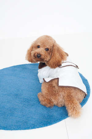 bowwow: Toy poodle dressed