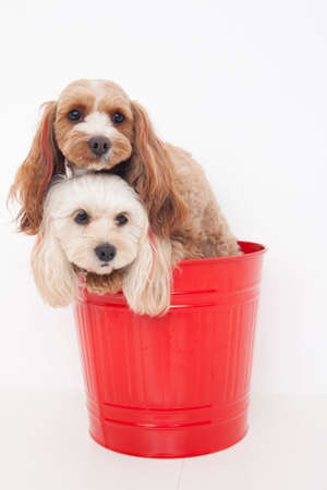 bowwow: Two dogs of hybrids entered the bucket Stock Photo