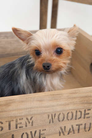 bowwow: Yorkshire terrier that went into the box