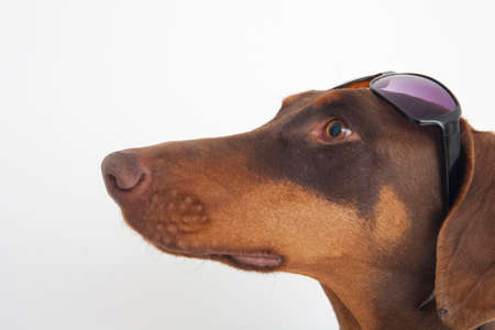 bowwow: Doberman that sunglasses