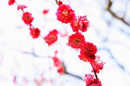 ciruela: Flores de ciruela roja