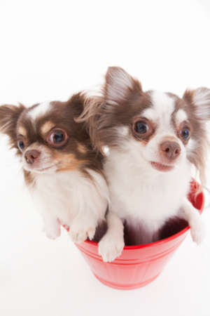 bowwow: Two dogs Chihuahua