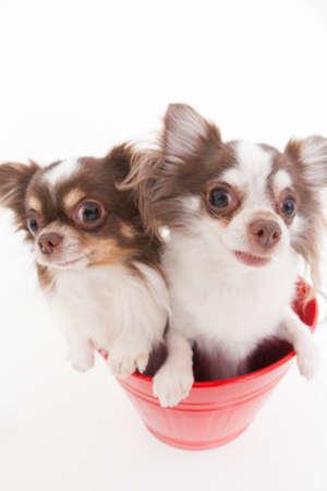 bowwow: Two dogs Chihuahua