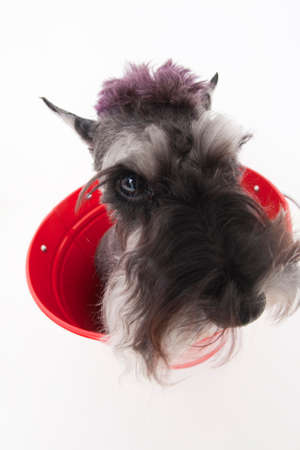 doggies: Miniature Schnauzer Stock Photo