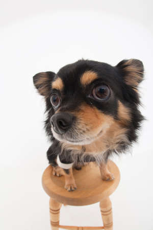 mammalian: Chihuahua that is riding on the chair