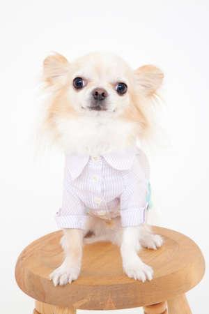bowwow: Sitting Chihuahua