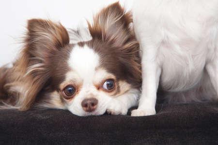 bowwow: Chihuahua