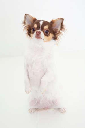 bowwow: Pose of Chihuahua