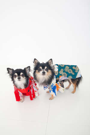 bowwow: Two dogs of Chihuahua wearing a kimono Stock Photo