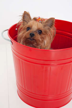bowwow: Yorkshire terrier who is in the bucket Stock Photo