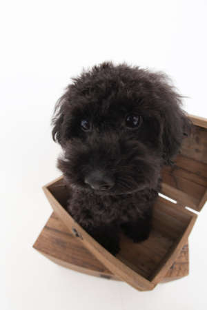 bowwow: Toy Poodle who is in the box Stock Photo