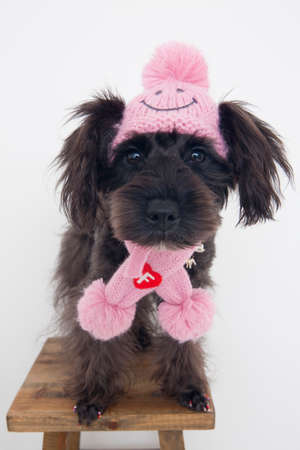 bowwow: Miniature Schnauzer Stock Photo
