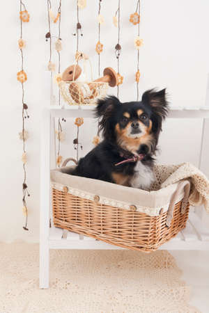 bowwow: Chihuahua that are in the basket