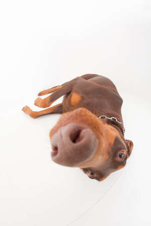 bowwow: and lying down to have Doberman Stock Photo