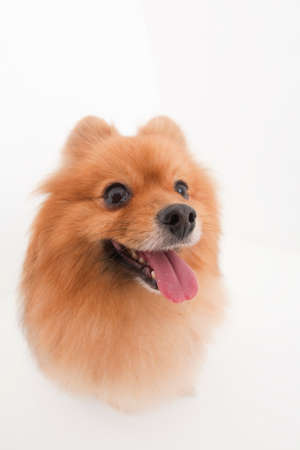 pome: Pomeranian