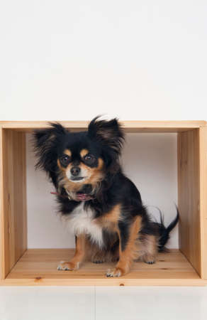 bowwow: Chihuahua who is in the box