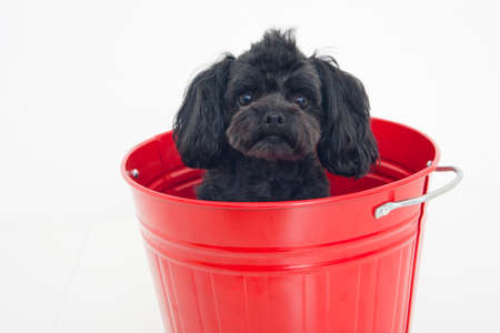 entered: Toy Poodle that entered the bucket