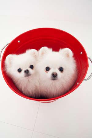 pomeranian: Pomeranian