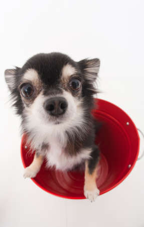 bowwow: Chihuahua that has entered the bucket