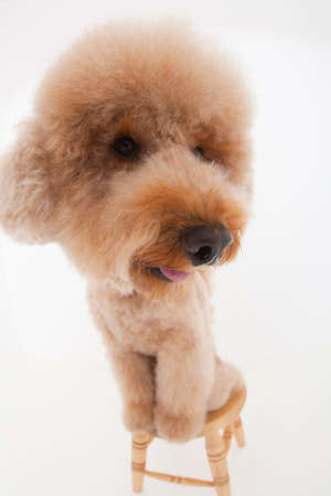 bowwow: Toy poodle that was riding on the chair Stock Photo