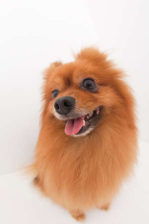 bowwow: Pomeranian