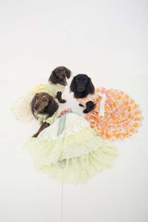 mammalian: Three of the miniature Dachshund wearing a dress